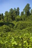 Kudzu Plant — Stock Photo