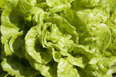 Lettuce background texture — Stockfoto
