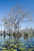Cypress Swamp — Stock Photo