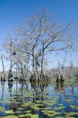 Cypress Swamp — Stock Photo