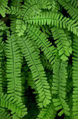 Maidenhair Fern — Foto Stock