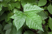 Poison Ivy — Stock Photo