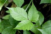 Poison Ivy — Stock Photo