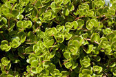 Purslane background texture — Stock Photo