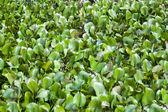 Water Hyacinth — Stock Photo
