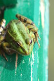Frog sitting on a wooden ladder — Stock Photo