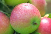 Juicy apples on the branch, the drops of water. — Stock Photo