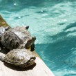 Sunbathing Turtles — Stock Photo