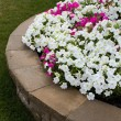 Petunias on the Brick Retaining Wall — Stock Photo