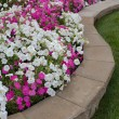 Stock Photo: Petunias on Flower Bed