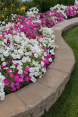 Petunias on the Flower Bed — Stock Photo