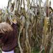 Curious Kid Trying to Pick Dry Corn Ear — Stock Photo