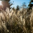 Stock Photo: Ornamental Grasses in Neighborhood