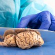 Stock Photo: Slicing cow brain with blade in anatomy class