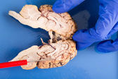 Longitudinal cross-section of a cow brain — Stock Photo