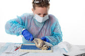 Medical student doing anatomy classes — Stock Photo