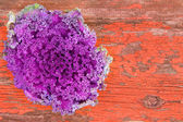 Curly-leaf purple kale on rustic grungy wood — Stock Photo