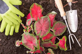 Planting lasting Love Caladium in the garden — Stock Photo