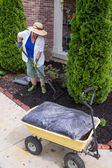 Senior woman mulching around arborvitaes — Stock Photo