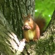 Squirrel eating a nut — Stock Video