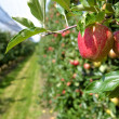 Stock Photo: Ripe Apples in Plantation