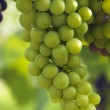 Wine Grapes on the Vine — Stock Photo #12843780