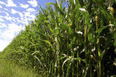 Cornfield iin Summer — Stock Photo