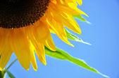 Detalle de una flor de girasol — Foto de Stock