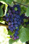 Blue Wine Grapes — Stock Photo