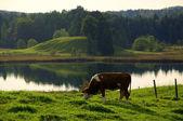 Grazing Cow in idyllic landscape — Stock Photo