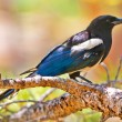 Royalty-Free Stock Photo: Magpie