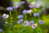 Purple Chamomile — Stock Photo