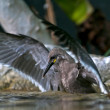 Inca Tern - Stok fotoraf