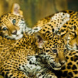 Jaguar Cubs -  
