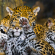 Jaguar Cubs - Lizenzfreies Foto