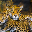 Jaguar Cubs — Stock Photo