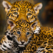 Jaguar Cubs - Stock Photo