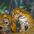 Jaguar Cubs - Foto Stock