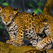 Stock Photo: Jaguar Cubs