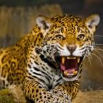 Постер, плакат: Jaguar Cubs