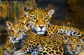 Jaguar Cubs — Foto de Stock