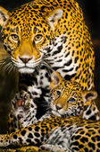 Jaguar Cubs — Stockfoto