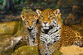 Jaguar Cubs — Stock Photo