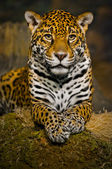 Jaguar-jungtiere — Stockfoto
