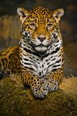 Jaguar yavrularını — Stok fotoğraf