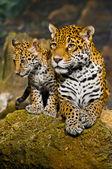 Jaguar Cubs — Foto de Stock
