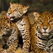 Постер, плакат: Jaguar Family