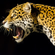 Roaring Jaguar — Stock Photo #22916252