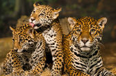 Jaguar Family — Stock Photo