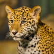 Young Jaguar — Stock Photo #22930104